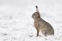Feldhase * Lepus europaeus * sitzt im Schnee