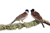 Artistic composition of two beautiful colorful birds on branch covered with patterned deer moss. Blackcap (Emberiza schoeniclus)
