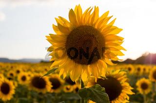 Field of sunflowers. Sunflowers flowers. Landscape from a sunflower farm. A field of sunflowers high