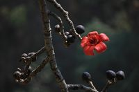 Red cotton tree flower.