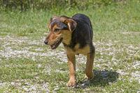 Kroatischer Strassenhund