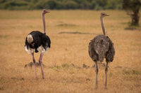 Male and female ostrich turning heads back