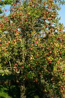 Apples ripe and tasty