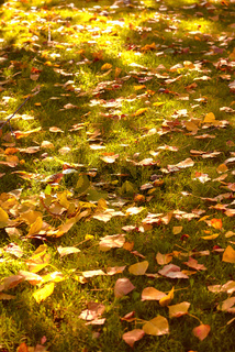 Autumn lime leaves on green grass on sunset