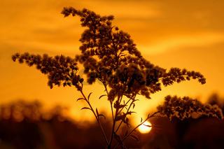 Goldrute im Herbst