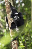 Indri indri (Indriidae Familie), Farbvariante, Ankanin Ny Nofy, Madagaskar
