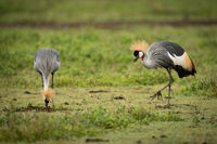 Grey crowned crane walks slowly towards another