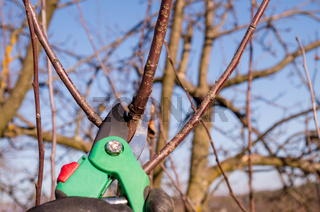 Pruning apple with garden scissors. Spring pruning of fruit trees in the garden.