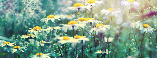 Beautiful dreamy daisy flowers, grass, ladybug close-up on wild field in sunset light panorama. Soft focus nature background. Copy space. Spring floral greeting card template. Delicate delightful romantic artistic toned image