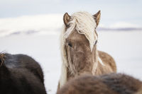 Blonde haired Icelandic horse in the snow in Iceland