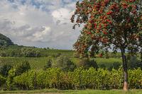 Vogelbeere, Eberesche, Vogelbeerbaum (Sorbus aucuparia) mit roten Beeren,