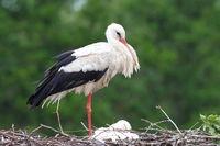 Weißstorch,Altvogel und Jungvögel im Nest
