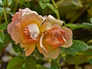 Edelrose, Blüte
