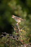 Zitting cisticola opens beak on whistling thorn
