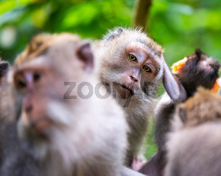 Macaque monkeys at Ubud Monkey Forest in Bali