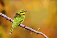 Zwergspint, Liwonde Nationalpark, Malawi, (Merops pusillus)  |  little bee-eater, Liwonde National Park, Malawi, (Merops pusillus)