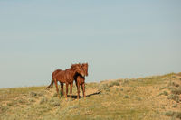 Horses frolic in the open air on a summer day .In the steppes of Kazakhstan