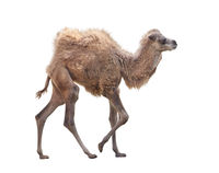 Baby Camel with two humps , Bactrian camel on white background