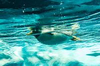 Penguin in water - penguin swimming underwater shot