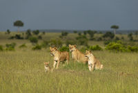 Three lioness and cub, Maasai Mara, Kenya, Africa.