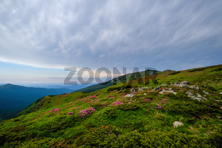 Pink rose rhododendron flowers on summer mountain slope