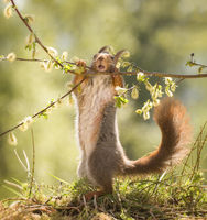 red squirrel holding a willow flower branch