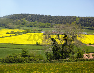 The rapeseed field in Devon. England.