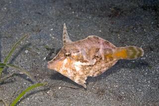 Bristle-Tail Filefish, Acreichthys tomentosus