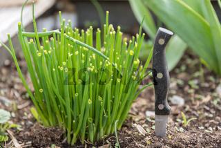 Frischer Schnittlauch im eigenen Garten - Messer zur Ernte