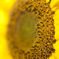 Extreme close-up of sunflower