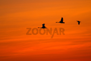 Flying swans against dramatically sunset sky