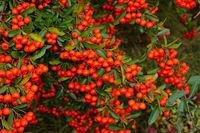 Feuerdorn, Pyracantha, Rote Früchte