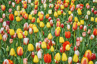 Tulip Flowers of Different Colors