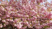 Japanische Kirsche in voller Blüte