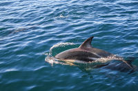 dolphin in Kaikoura bay, New Zealand