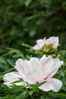 Close-up of a light pink delicate flower of a pion in the garden on a background of green leaves