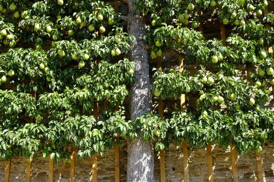 spalierobst birnbaum