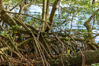 Natural and preserved tropical mangrove vegetation