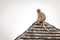 Vervet monkey looks around from tiled rooftop