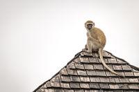 Vervet monkey looks around from tiled rooftop