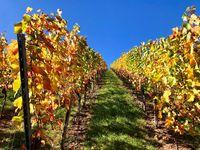 vineyard on a sunny autumn day