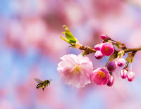 Bee flying to pink cherry blossoms