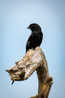 Magpie shrike looks left on dead branch