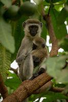 Vervet monkey mother cuddling baby in tree
