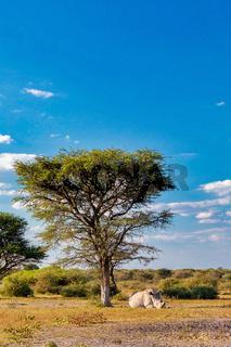 Resting white rhinoceros under acacia tree in Khama Rhino Sanctuary reservation, Botswana safari wildlife