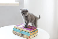 Lovely grey scotish kitten sitting on the pile of books in the living room
