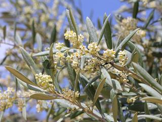 Blüten des Olivenbaums, Olea europaea