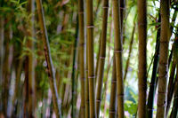 Bamboo forest, natural full frame background, daylight, no people