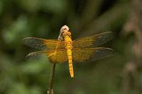 Dragonfly, Maharani, Tripura , India