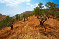 Olive grove in Israel.